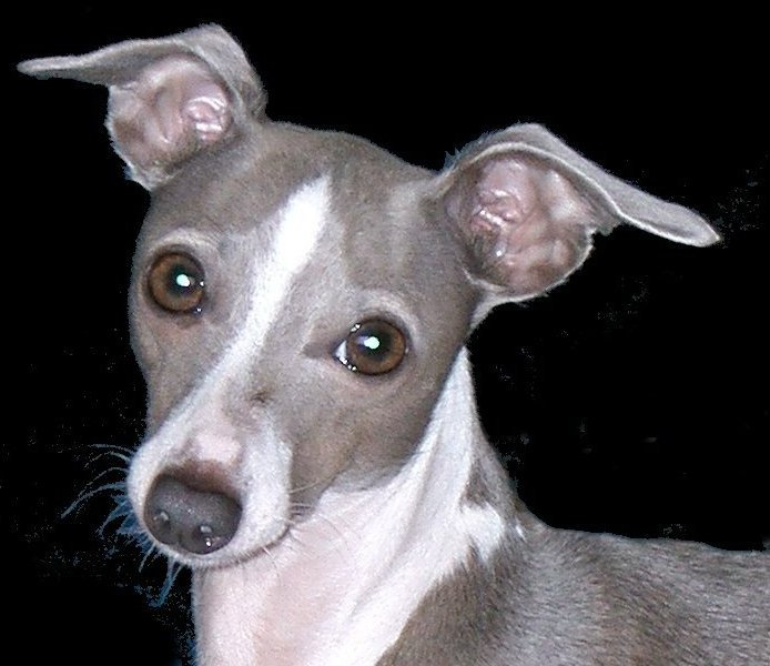 Italian Greyhound introduction