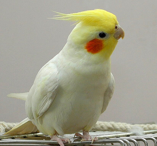 5 tips for owning a cockatiel