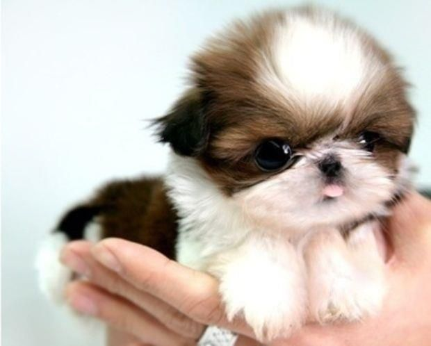 Shih Tzu Puppies