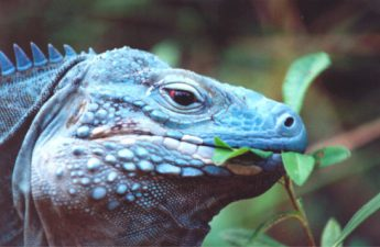 iguana diet what they eat