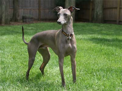 italian greyhound facts