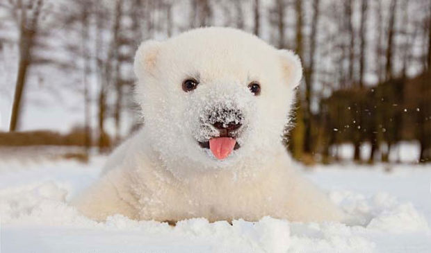 Facts And Information About Baby Polar Bears Animal Mayhem